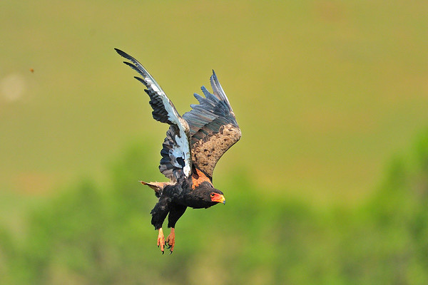 Bataleur eagle in flight