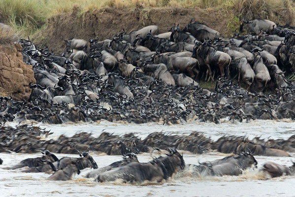 river crossing in the migration in Masai Mara