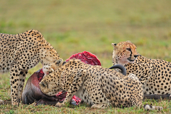 three cheetahs on a kill