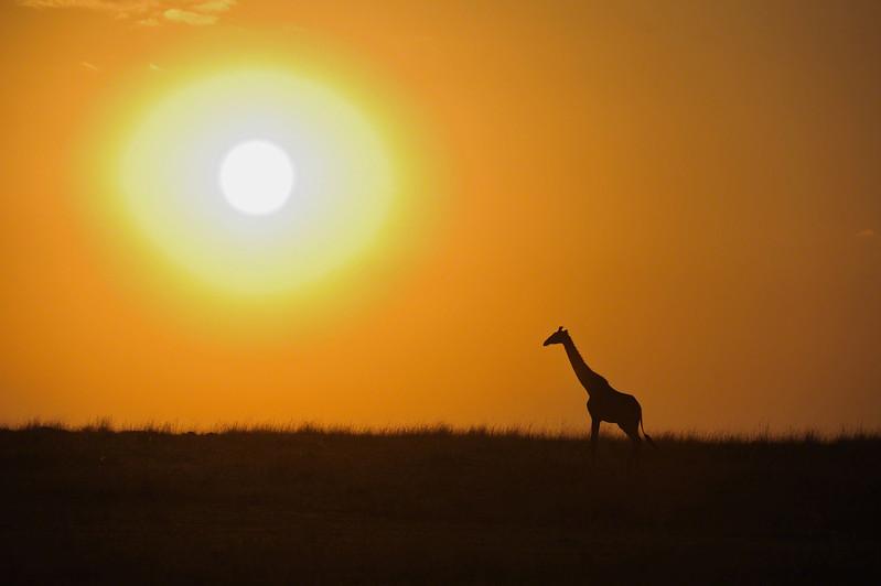 masai giraffe at sunset