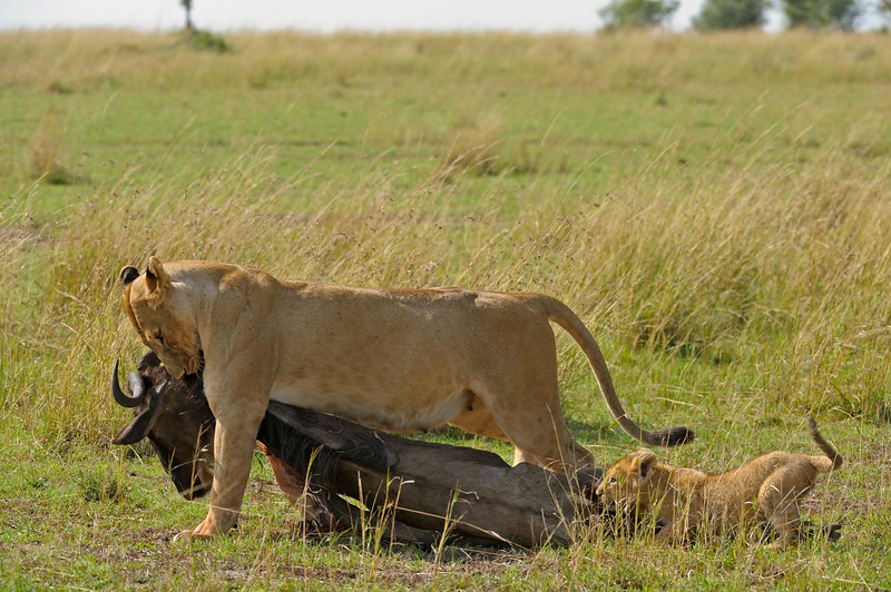 lioness and vcubs with a kill in masai mara