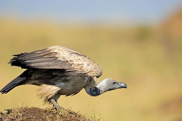 vultures in masai mara