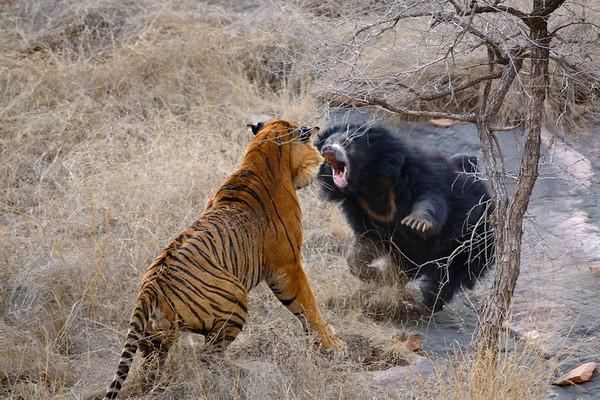 bear tiger fight in Ranthambhore India