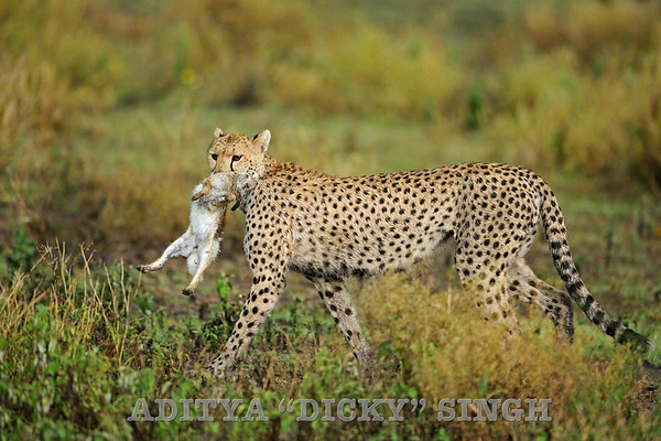 Cheetah with a dead hare