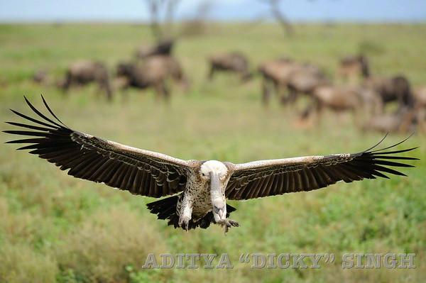 Vultures in Ndutu