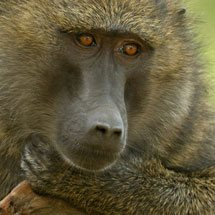 Olive or Anubis Baboon in Lake Nakuru national park