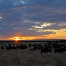 Herds of African buffalo, affalo or Cape buffalo (Syncerus caffer) at sunrise in Masai Mara, Kenya