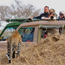Tourists in cars watching an African Leopard (Panthera pardus pardus) in the grasslands of Masai Mara in Kenya, Africa