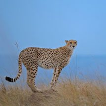 Cheetah against the blue sky in the grasslands of Masai Mara in Kenya, Africa