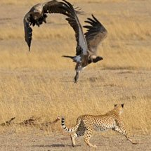 Cheetah chasing off vultures from a wildebeest kill in the grasslands of Masai Mara in Kenya, Africa
