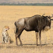 A confrontation between a cheetah and a wildebeest in the grasslands of Masai Mara in Kenya, Africa
