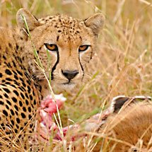 Cheetah eating a Thompson's gazelle kill in the grasslands of Masai Mara in Kenya, Africa