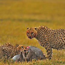 Two Cheetahs eating a wildebeest kill during a thunder storm in the grasslands of Masai Mara in Kenya, Africa