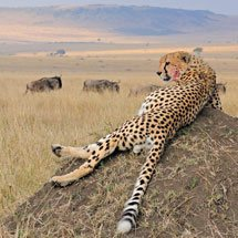 Cheetah on a mound in the grasslands of Masai Mara in Kenya, Africa