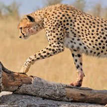 Cheetah on a fallen dead tree in the grasslands of Masai Mara in Kenya, Africa