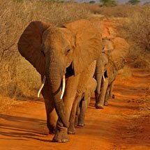 African elephants in Tsavo National Park