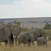 African elephant in Masai Mara, Kenya