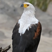 African Fish Eagle (Haliaeetus vocifer) near the Talek river in Masai Mara, Kenya