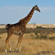 Masai Giraffe or Maasai Giraffe, also known as the Kilimanjaro Giraffe (Giraffa camelopardalis tippelskirchi) in the scenic grasslands of Masai Mara, Kenya