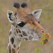 Masai Giraffe or Maasai Giraffe, also known as the Kilimanjaro Giraffe (Giraffa camelopardalis tippelskirchi) feeding in the grasslands of Masai Mara, Kenya