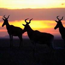 Hartebeests (Alcelaphus buselaphus) at sunset in Masai Mara