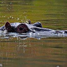 Hippopotamus (Hippopotamus amphibius), or hippo in a river in Masai Mara, Kenya