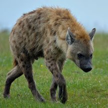 Spotted hyena also known as laughing hyena on the shore of Lake Nakuru in Kenya