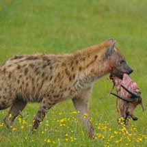 Spotted hyenas eating a Thompson's gazelle kill in Lake Nakuru national park, Kenya