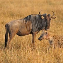 Spotted hyena (Crocuta crocuta) and a Wildebeest or Gnus in Masai Mara, Kenya