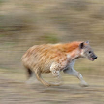 Spotted hyena (Crocuta crocuta) also known as laughing hyena running in Masai Mara, Kenya