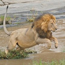 Male lion jumping across the Talek river in the forests of Masai Mara, Kenya, Africa