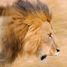 Male lion in the forests of Masai Mara, Kenya, Africa
