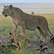 The Marsh pride of lions in the Masai Mara, Kenya, Africa