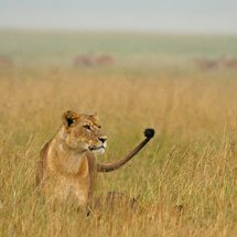 A lioness in rain in grasslands of Lake Nakuru national park, Kenya, Africa