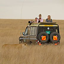 Female lion moving in front of a tourist car in Masai Mara, Kenya, Africa