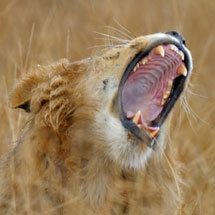 Male lion yawning in the grasses of Masai Mara, Kenya, Africa