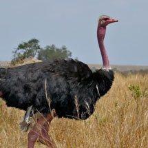 Ostrich (Struthio camelu) in front of an airstrip in Masai Mara, Kenya