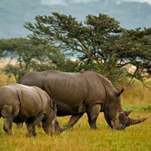 White rhinoceros family