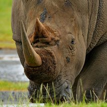 White Rhinoceros or Square-lipped rhinoceros (Ceratotherium simum) in Lake Nakuru national park