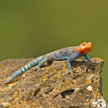 Male Red-headed Rock Agama (Agama agama) in Lake Nakuru national park