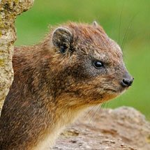 Rock Hyrax (Procavia capensis) or Cape Hyrax in the rocky cliffs of Lake Nakuru national park, Kenya
