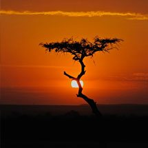 Acacia tree at sunset in Masai Mara
