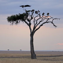 Vultures on a lone tree in Masai Mara grasslands at sunset