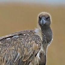 White-backed Vulture (Gyps africanus) sitting on a termite mound in Masai Mara, Kenya