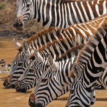 Plains or Common Zebras (Equus quagga) drinkinjg from a waterhole in Masai Mara, Kenya
