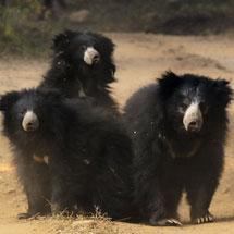 Sloth Bear family in Ranthambhore national park