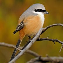 Long-tailed Shrike or the Rufous-backed Shrike in the jungles of Ranthambhore national park