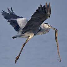 Grey Heron with a snake kill in Ranthambhore