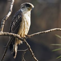 Juvenile Crested Serpent Eagle on a tree perch in Ranthambhore tiger reserve in India.