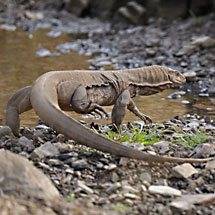 Bengal monitor or Common Indian Monitor lizard in Ranthambore